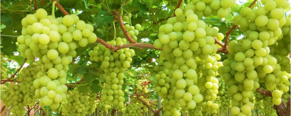 picture for illustration purposes - table grape vineyard